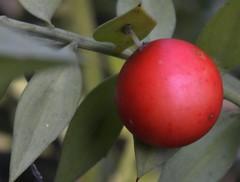 The Ball in Red (St./L) Tags: red macro nature closeup ball leaf nikon dof artistic bokeh creative harmony imaginative