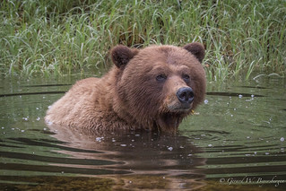 Grizzly Bear - Bathing
