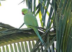 Jeddah Parrot, 26Jan16.01 (Pervez 183A,HAPPY VALENTINES DAY) Tags: green bird parrot jeddah