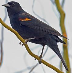 A Red-Winged Blackbird (autumnhillswoollens685) Tags: birds blackbird redwingedblackbird d800fx avianspecies 300mmafsf4lens
