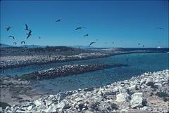 Isla Rasa Lagoon (1980) (mueflickr) Tags: bajacalifornia colony seabird gulfofcalifornia heermannsgull eleganttern islarasa borderfx