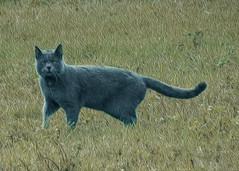 maooooo (conteluigi66) Tags: felino gatto nero gattonero luigiconte
