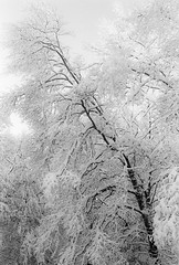 Leaning (SopheNic (DavidSenaPhoto)) Tags: trees blackandwhite bw snow monochrome iso200 snowstorm 35mmfilm hp5 bushes leaning ilford 50mmf18 selfdeveloped id1111 canonelan7e pullprocessed bwfp