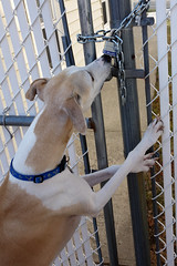 Safety First (DiamondBonz) Tags: dog pet lock hound whippet safety chain spanky dogchal