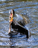 ANHINGA WRESTLING (concep1941) Tags: nature birds outdoor swamps rivers snakebird freshwatermarshes anhingafamily
