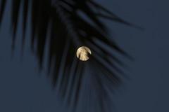 Full Moon Through Palm Leaves [Explore] (aaronrhawkins) Tags: christmas longexposure sky moon tree leaves night island evening warm bright wind palm fullmoon explore southpacific tropical romantic tahiti breeze borabora aaronhawkins