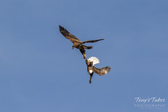 Bald Eagles battle for breakfast - Sequence - 19 of 42
