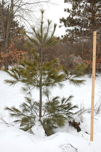"White Pine, Planted 2011 <a style=""margin-left:10px; font-size:0.8em;"" href=""http://www.flickr.com/photos/91915217@N00/25118961525/"" target=""_blank"">@flickr</a>"