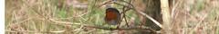 roodborst (willemsknol) Tags: robin birds vogels assen roodborst willemsknol