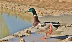 You put your left leg in, your left leg out ......... (nick.linda) Tags: dance song ducks anasplatyrhynchos hokeypokey canon100400 hokeycokey nurseryrhyme malemallard wildandfree