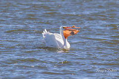 American White Pelican fishing sequence - 15 of 20