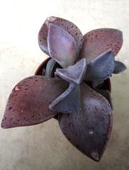 Lenophyllum guttatum, Mexico
