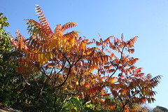 IMG_5765 (baskill) Tags: blue autumn red tree yellow gold golden brighton colours sumac