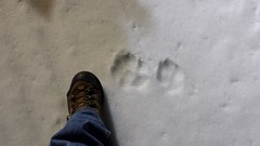 20160329_215551 (bifgul) Tags: snow wolf tracks grooming pup snowmobiling
