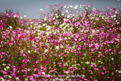 Cosmos (Leoa's  Photography) Tags: pink flowers white flower nature southafrica ilovenature burgundy cosmos mpumalanga leoasphotography