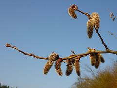Poppeln (Jrg Paul Kaspari) Tags: spring catkin aspen trier frhling ktzchen catkins espe populus tremula populustremula zitterpappel pappelktzchen poppeln avelertal