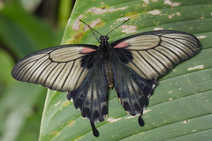 Great Mormon / Page / Papilio memnon (Greeney5) Tags: macro butterfly insect insects lepidoptera page swallowtail vlinder insecten papilio papiliomemnon greatmormon papilionidae vlindertuin tropischevlindertuin vlindertuinkleincostarica kleincostarica