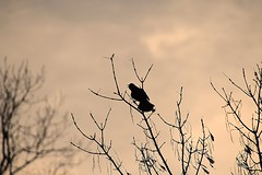 Evening Joy.   Red Wing Black Bird. (rattlesnake orchid) Tags: silhouette birdsong redwingedblackbird signofspring