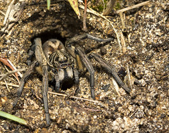 So thats whats in those holes (aussiegall) Tags: yard spider hole arachnid lawn wolfspider