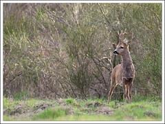 plus que très curieux !!! (guiguid45) Tags: nature nikon animaux roedeer forêt sauvage ree capreoluscapreolus loiret mammifères 500mmf4 d810