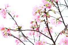 IMG_8450 -  Tseung Kwan O (Mak_Ho) Tags: park flower canon photography hongkong vegetation sakura        tseungkwano  700d  cerasuscampaulata hongkongvelodromepark