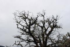 Scraggly oak, in the rain (rozoneill) Tags: park blue lake creek river joseph lost state hiking cove trail stewart grotto rogue shady
