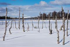 The old birch grove (Fjllkantsbon) Tags: winter snow vinter lappland lapland april sverige sn vrvinter vsterbottensln evamrtensson blaikfjlletsnaturreservat stutvattenmyren