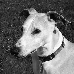 Black and White (DiamondBonz) Tags: dog pet white black hound whippet spanky dogchal