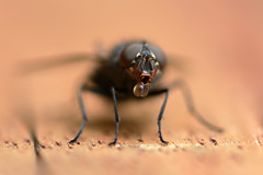 Thirsty fly (nyanc) Tags: travel color nature netherlands fly nikon colorful flickr natuur thirsty vlieg