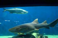 DSC03681 (emmanrog) Tags: animales marino acuario tiburn