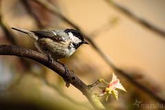 Coaltit Blossom (Nuzulu) Tags: tree garden branch tit blossom acer bud coaltit gardenbird nikondf