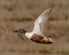 Up and Away. (tresed47) Tags: birds us newjersey ngc ducks content places folder northernshoveler takenby 2016 peterscamera petersphotos canon7d ebforsythenwr 20160414newjerseybirds 201604apr