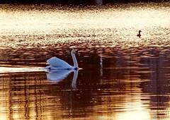 Tlnlahti at sunrise time (Lalallallala) Tags: sea bird water suomi finland mirror swan helsinki balticsea fowl waterfowl tlnlahti kyhmyjoutsen