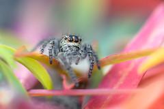 Salticidae ( Menemerus semilimbatus ) (aeyuio) Tags: color macro nature colors alpes bug spider nikon bokeh nikkor coloured couleur jumpingspider insecte araigne alpesmaritimes kenko salticidae saltique menemerussemilimbatus nikon105vr nikond750