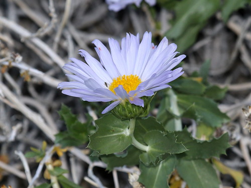 Orcutt's Woody Aster (Xylorhiza orcuttii), Tierra Blanca Mountains, Anza-Borrego Desert, CA, 3-19-16 B