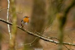 Rougegorge (Guibs photos) Tags: france bird robin forest bretagne oiseau forêt rougegorge britany illeetvilaine thorignéfouillard passereau passériformes eos7d forêtderennes canonef100400mmf4556lisiiusm