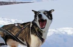 Sldehund (e_m_b_r_y) Tags: winter snow ice nature norway happy husky malamute sled artic alaskan tromso