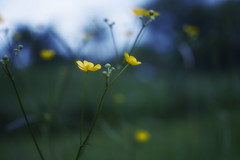 Small (Marko Kamenski) Tags: flower macro yellow glow pastel yellowflower muted kamenski markokamenski