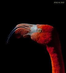 Leipzig, Zoo, Roter Flamingo, Mrz 2012 (joergpeterjunk) Tags: portrait zoo leipzig nahaufnahme tier vogel phoenicopterusruberruber canonef70300mmf456isusm canoneos50d roterflamingo