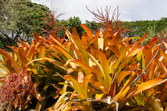 Golden Tones (rschnaible) Tags: usa plant color botanical hawaii golden us colorful warm tour pacific outdoor sightseeing maui tourist plantation tropical tones tropics