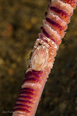 Porcelain Crab (Simon Franicevic) Tags: bali tulamben seapen melasti crabporcelain