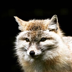 Corsac fox  #picoftheday #fox #corsacfox... (foenixisonfire) Tags: nature fox wilderness cuteness majestic foxes furball mothernature animalkingdom picoftheday corsacfox corsac uploaded:by=flickstagram instagram:venuename=paris2cfrance instagram:venue=6889842 instagram:photo=12122549127672262773020213483 myfurisnotforsale