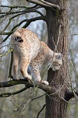 Lynx 2016-04-01-0004 (bzd1) Tags: nature animal cat mammal natuur lynx carnivore carnivora felidae chordata eurasianlynx lynxlynx katachtigen roofdieren