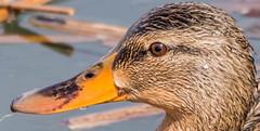 Wet Head (vernonbone) Tags: birds nikon sigma 500mm eastpoint d3200 april2016