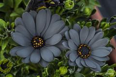 Cautivadoras.. (Javier Arcilla) Tags: naturaleza flores primavera plantas pentax colores verdes blancos amarillos rojos k50 pentaxk50