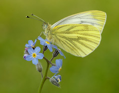 Green-veined White Pieris napi (Iain Leach) Tags: macro nature beautiful beauty closeup canon butterfly insect outdoors photography image wildlife moth conservation lepidoptera photograph invertebrate macrophotography greenveinedwhite birdphotography pierisnapi beautyinnature wildlifephotography canoncameras canon5dmk3 canon1dx wwwiainleachphotographycom iainhleach