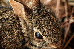 P is for Precious - Macro Monday (TuthFaree) Tags: baby macro rabbit fur ears elements hmm macromonday thingsthatbeginwithp