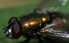 Greenbottle Macro III (Josh Rokman) Tags: insect fly greenbottle flyinginsect greenbottlefly