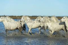40080980 (wolfgangkaehler) Tags: horse white france water french europe european running wetlands marsh splash herd marshland wetland camargue southernfrance splashing marshlands galloping 2016 whitehorses camarguehorses