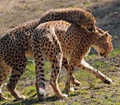 cheetah Burgerszoo JN6A5645 (j.a.kok) Tags: cheetah burgerszoo jachtluipaard acinonyxjubates